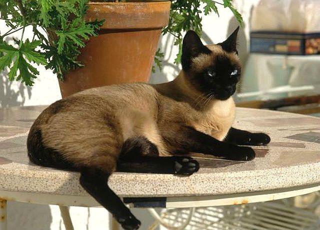 Сиамская кошка лежит