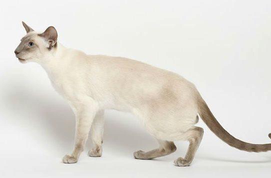 Сиамская кошка с кремовым оттенком шерсти