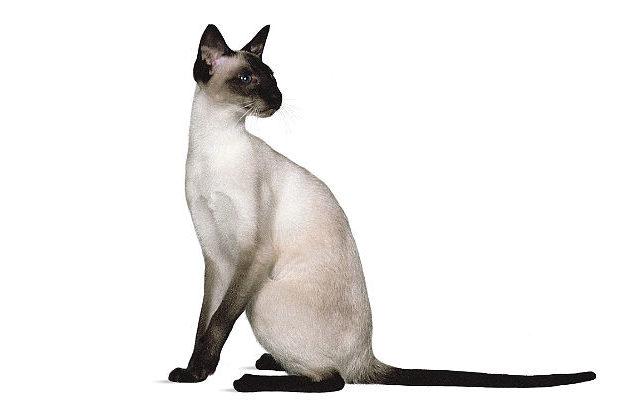 Сиамская кошка - красавица