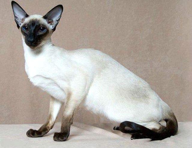 Сиамская кошка - светлого окраса