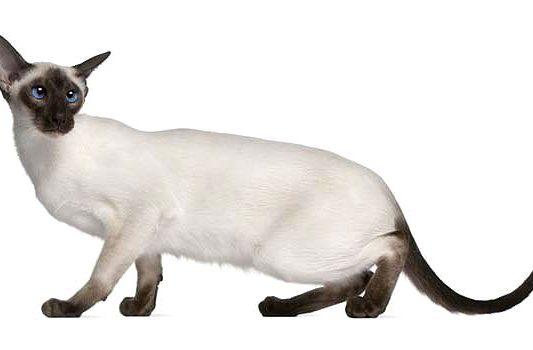 Сиамская кошка присела на задних лапах
