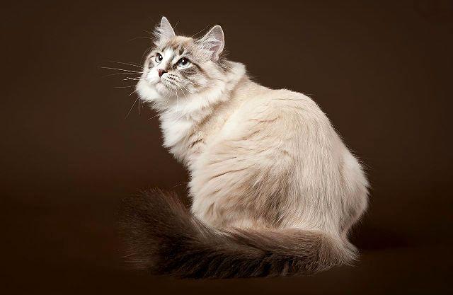 Сибирская кошка - вид сзади