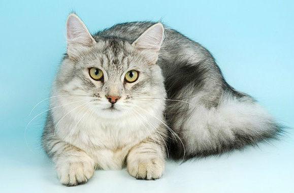 Сибирская кошка серая с белым