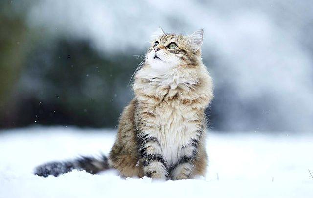 Сибирская кошка на природе