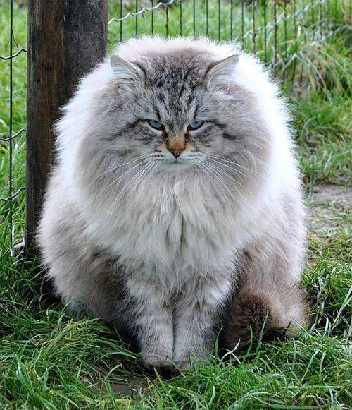 Сибирская кошка - вид спереди