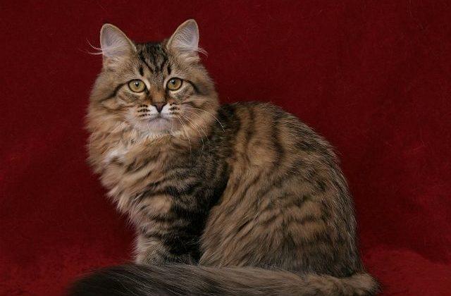 Сибирская кошка на бордовом фоне