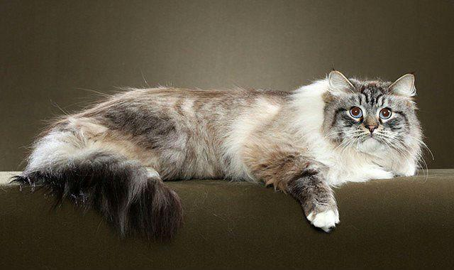 Сибирская кошка - красавица