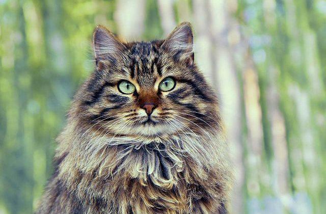 Сибирская кошка - голова