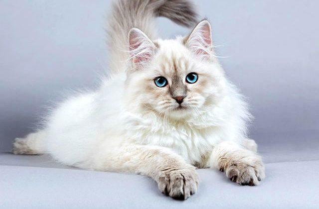 Сибирская кошка белая