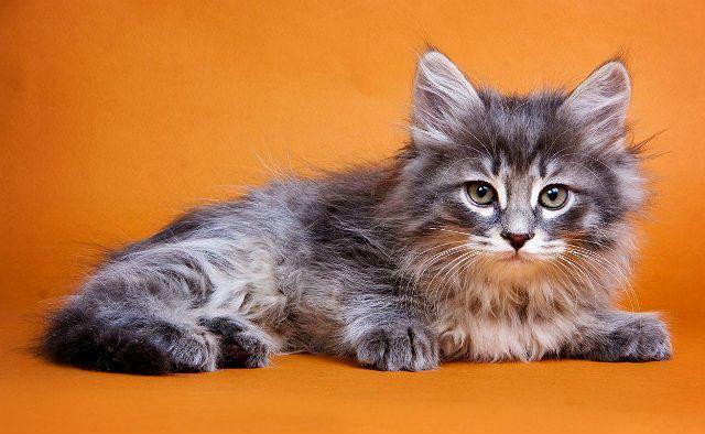 Сибирская кошка - выбор котенка