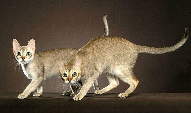 Сингапурская кошка табби