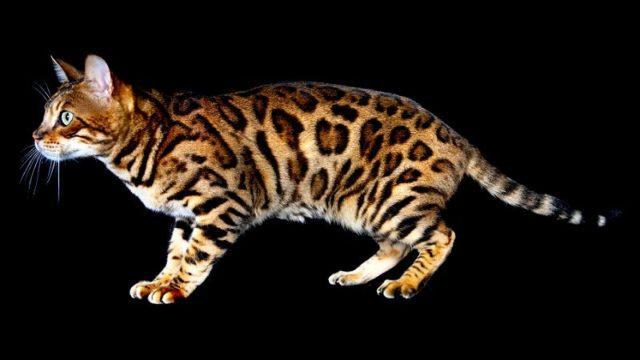 Сколько живут бенгальские кошки - главное фото