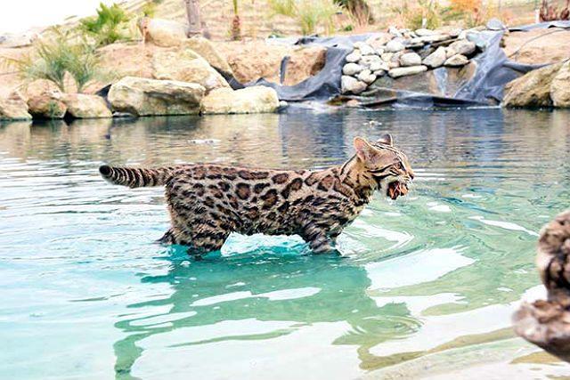 Бенгальская кошка в воде