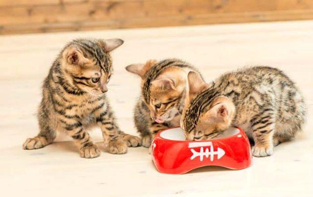 Кормление бенгальской кошки