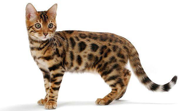 Бенгальская кошка - вид сбоку