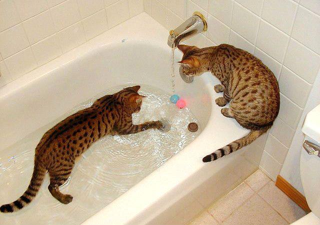 Бенгальская кошка - гигиена