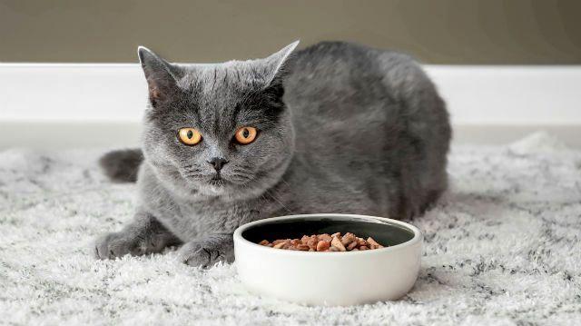 Кормление британской кошки