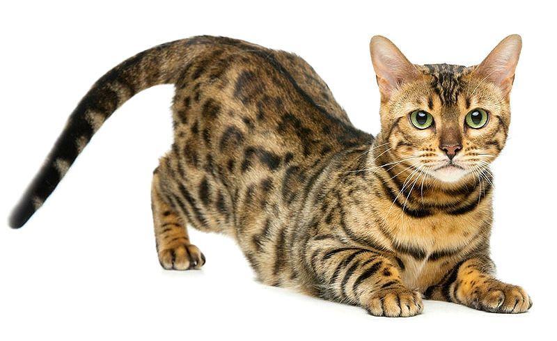 Табби кошка