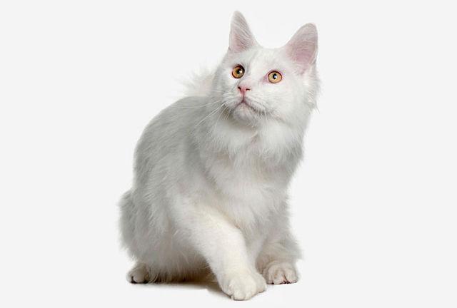 Турецкая ангора - котенок