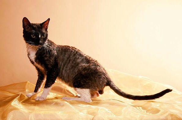 Уральский рекс - кошка с кудрявой шерстью