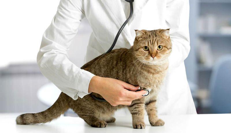 Вирусные инфекции у кошек