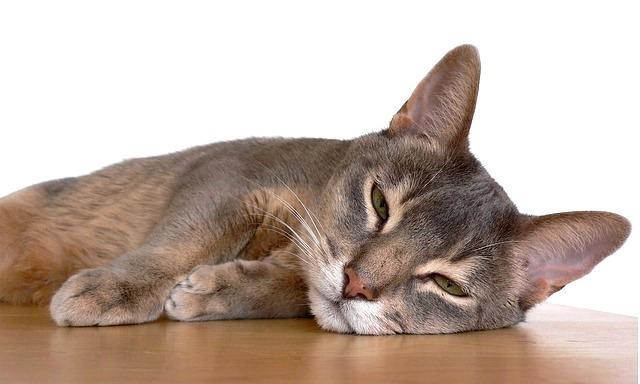 Симптомы перитонита у кошки