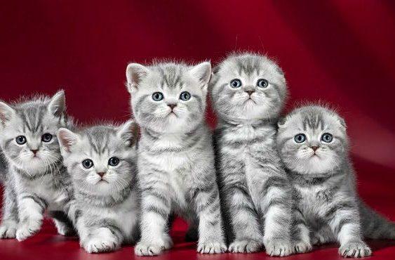 Вислоухие котята-шотландцы и короткошерстные британцы