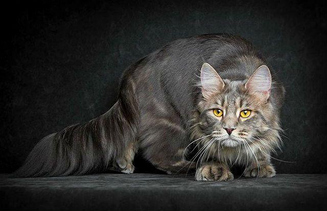 Злой кот мейн-кун