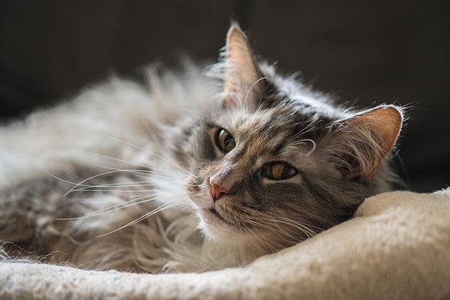 Панкреатит кошек