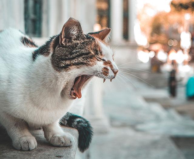 Рвотный рефлекс у кота