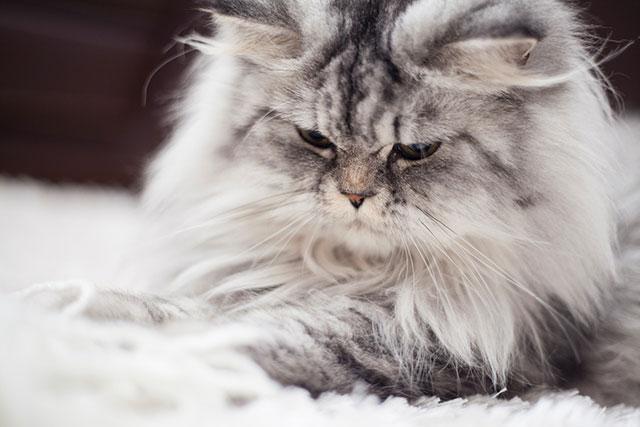 У длинношерстных котов рвота бывает чаще