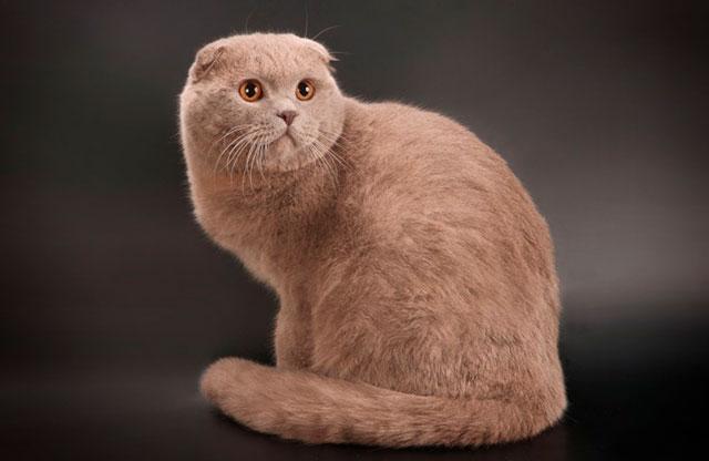 Лиловый шотландский кот