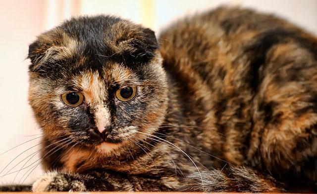 Черепаховая шотландская кошка
