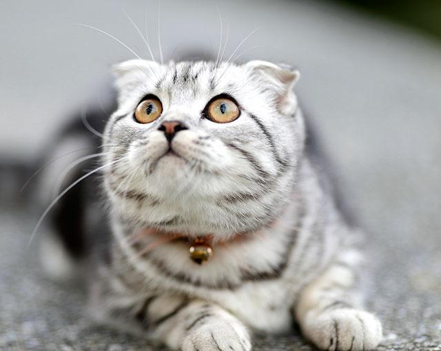 Мраморный вислоухий шотландский кот