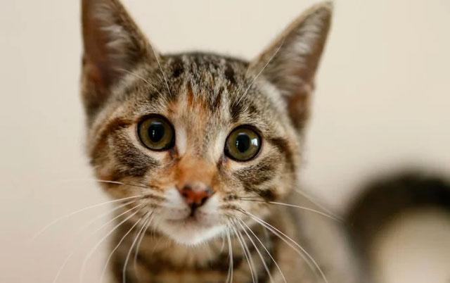 Панлейкопения, или чума кошек