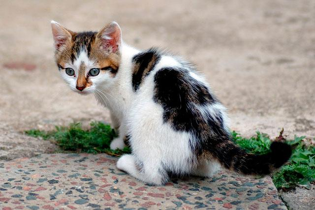 Котята могут заражаться с молоком матери