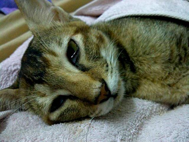 Кошачья чума