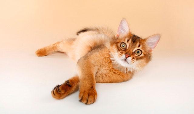 Кот сомалийской породы