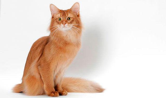 Рыжая кошка с лисьим хвостом