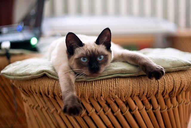 Тайский котик