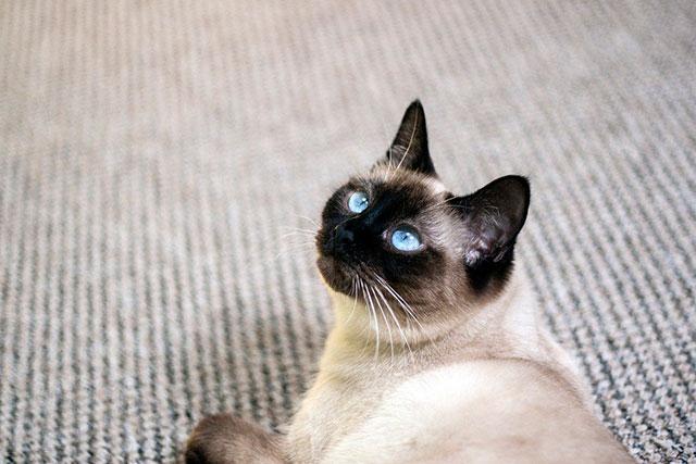 Кот-таец