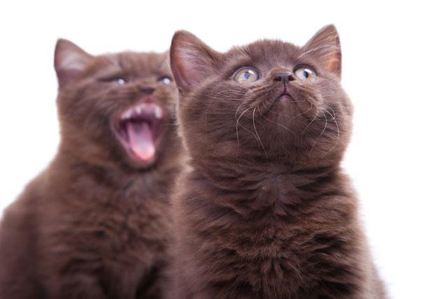 Котята йорки