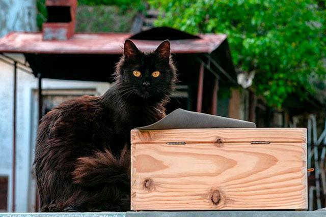 Йоркский шоколадный кот