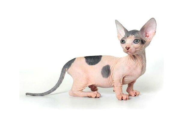 Котенок породы Бамбино