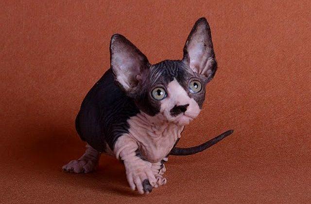 Бамбино - пятнистый котенок