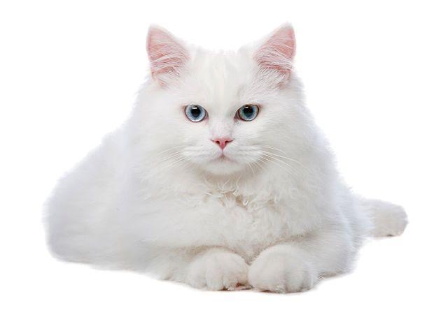 Белые и голубоглазые кошки