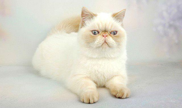 Белая кошка экзот