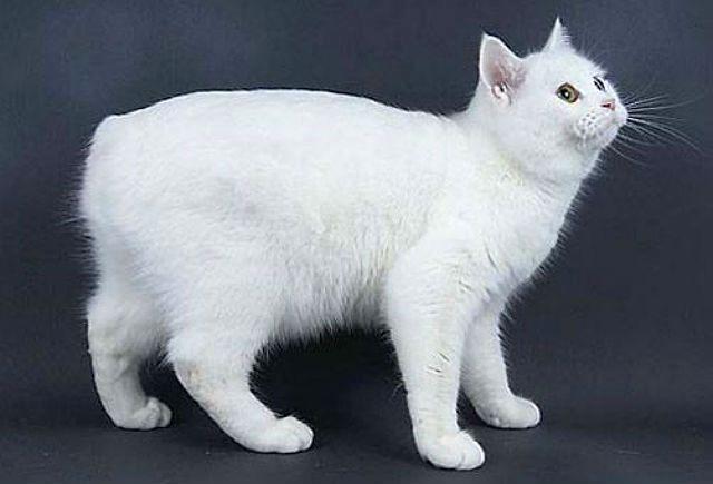 Белая кошка мэнкс