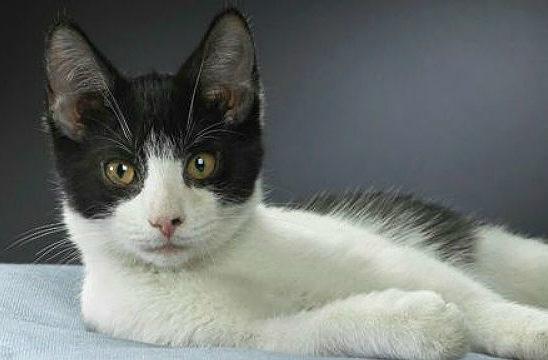 Бразильская короткошерстная кошка черно-белого окраса