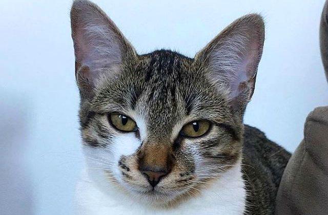 Бразильская короткошерстная кошка - голова